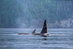 Orca Whale, Vancouver Island - (Photo Credit: ©Tourism British Columbia)